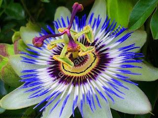 çarkıfelek çiçeği