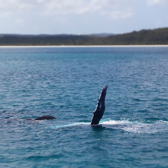 A humpback whale and her calf fin slapping