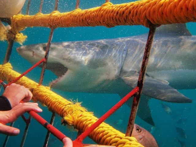 How to Cage Dive with Great White Sharks in South Africa