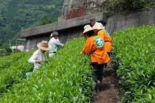 森下安男(やっさ)さんの茶畑 お茶摘みツアー参加者