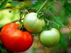 Khỏe đẹp nhờ ăn cà chua