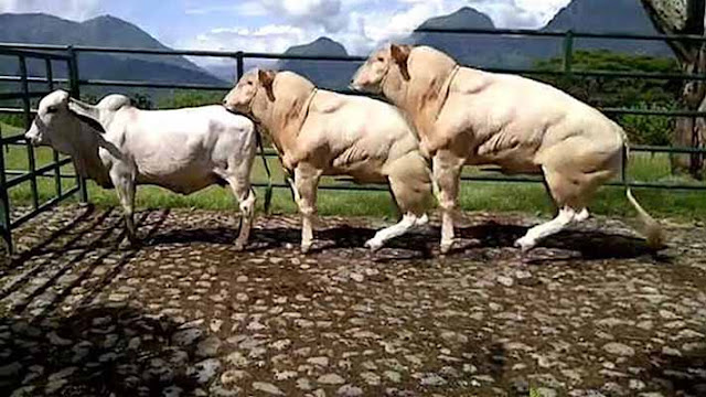 Three white cattles mating