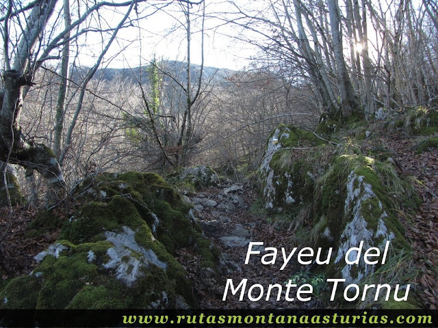 Fayeu del Monte Tornu