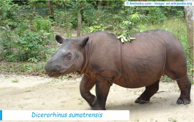 Fakta unik tentang badak sumatera