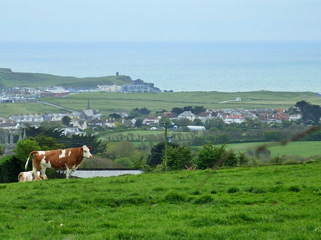 Cattle with a wonderful view in Cornwall