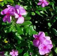 Manfaat tumbuhan Tapak Dara