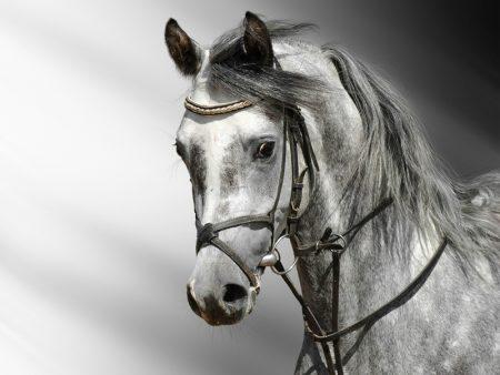 نتيجة بحث الصور عن صور حصان