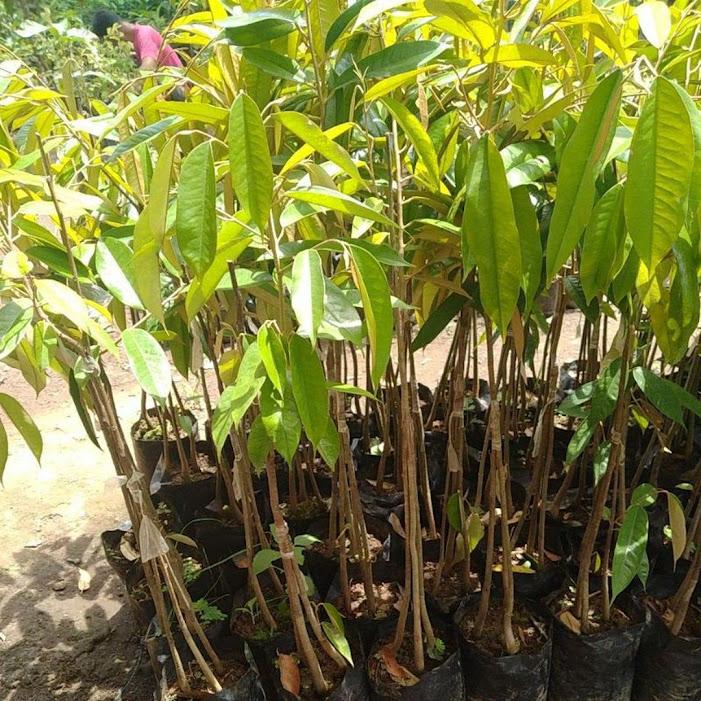 bibit durian musang king kaki 3 okulasi Jawa Tengah