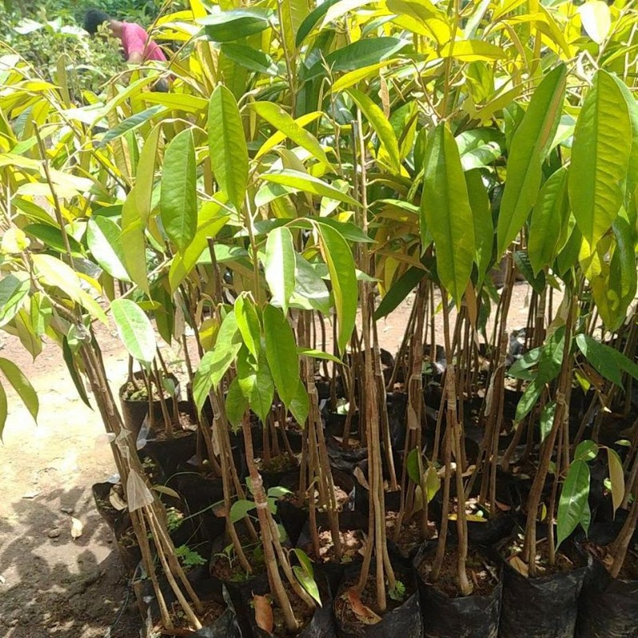 bibit durian musang king kaki 3 okulasi Makassar