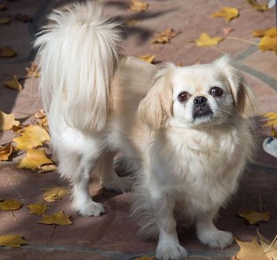 Fluffy Dog Breeds, Small fluffy dogs