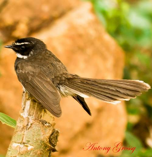 Birds of India - Photo of White-spotted fantail - Rhipidura albogularis