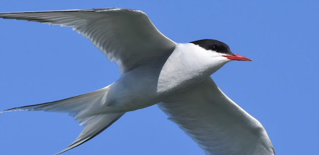 Arctic Tern at Canoa Ranch