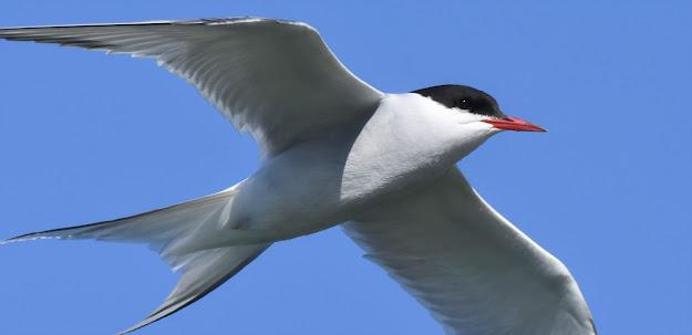 Arctic Tern at Canoa Ranch