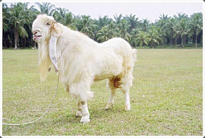 foto 3 gambar kambing etawa super putih mulus