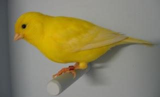 تجهيز طائر الكناري للتزاوج