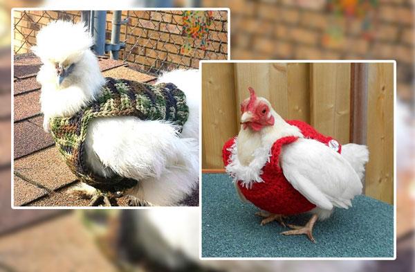 ayam dengan pakaian rajutan