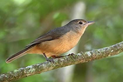 Kenali Habitat Serta Ciri-Ciri Fisik Burung Anis Betet Kecil