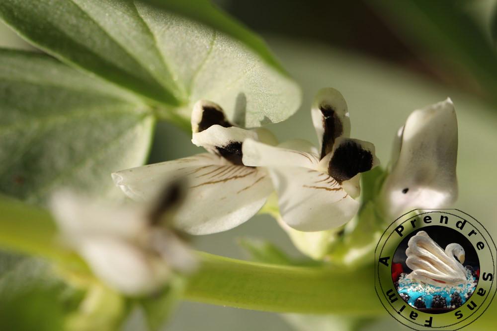 Tout savoir sur les fèves (pas à pas en photos)