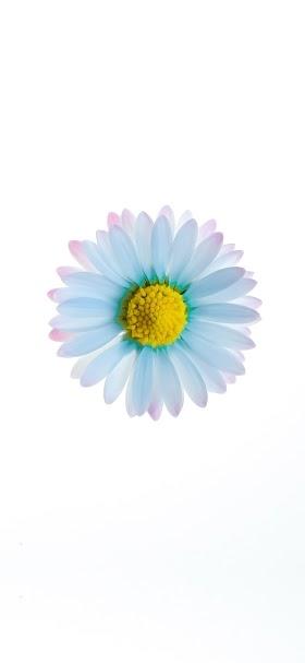 خلفية وردة بيضاء جميلة أمام مساحة بيضاء بسيطة