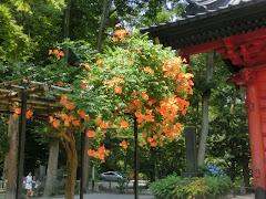 妙本寺のノウゼンカズラ