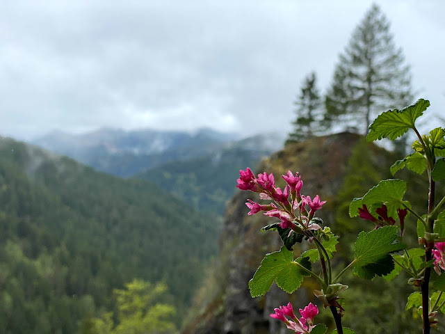 Hot pink flowering currant in the foreground and foggy rolling hills blurred in the background