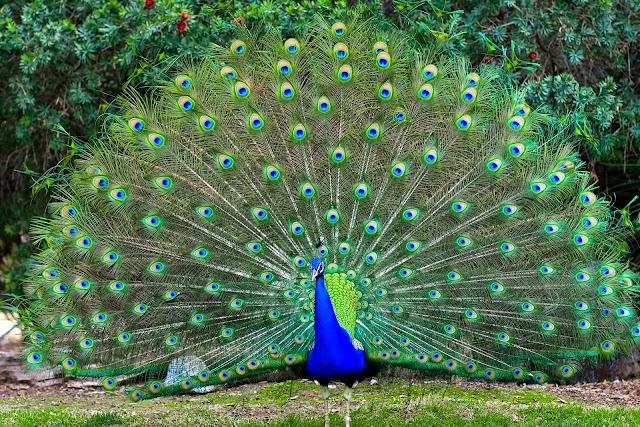 Burung Merak, Miliki Warna warni