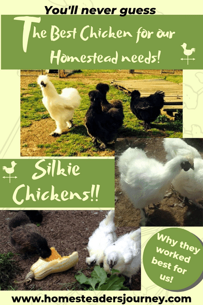 You'll never believe out of the 20 or more breeds of chickens we raised Silkie chickens were the best homestead chickens for us! Find out why they worked so well for our personal homestead needs! See if they might fit your homestead! #homesteadchicken #silkiechickens #homesteader