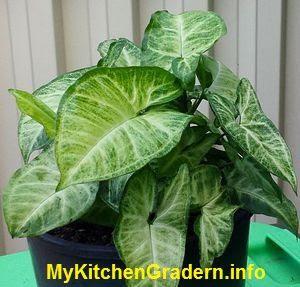Arrowhead Plant in a pot
