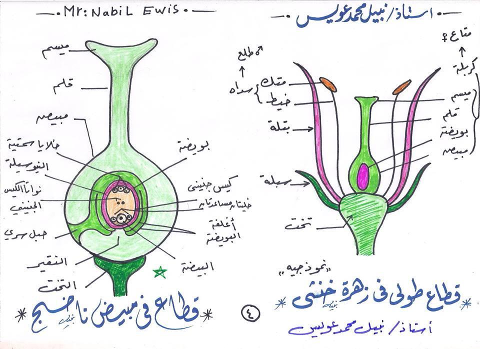 مراجعة رسومات الاحياء التى لن يخرج عنها امتحانات الثانوية العامة مستر نبيل عويس 4