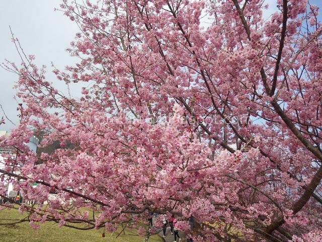 Cingjing Farm cherry blossoms