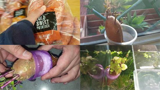 Grow Sweet Potato In Aquarium