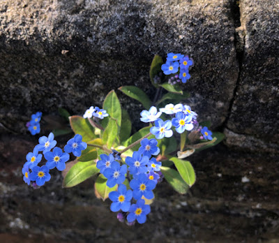 Forget-me-not flower growiing out of a wall
