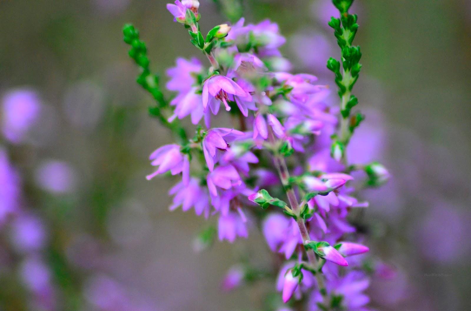 łąka | trawa | makro | wrzosy | kwiaty