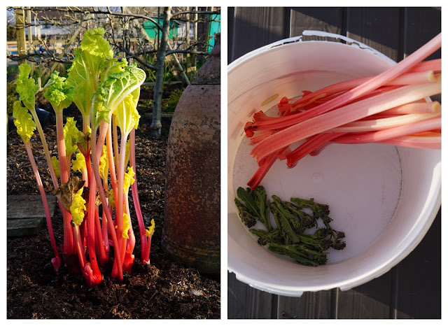 forced rhubarb and purple sprouting broccoli - a stubborn optimist blog - C Gault 2020