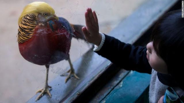Gracioso, esta ave se ve como Donald Trump