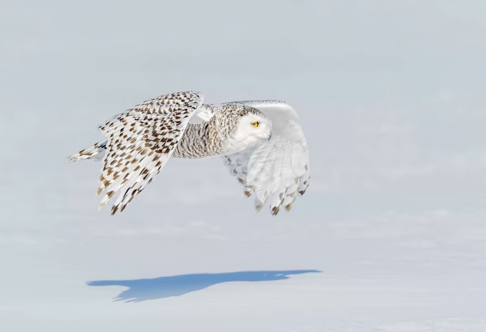 Appearance: Snowy Owl Bird