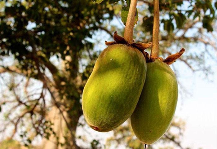 Buah Pohon Baobab