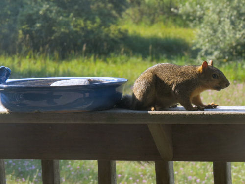 squirrel by birdbath