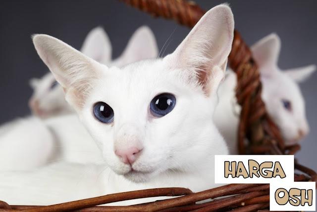 Harga Kucing Oriental