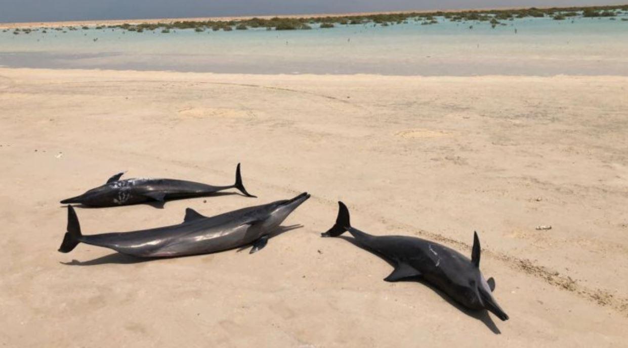 السعودية: إنقاذ عشرات الدلافين بعد جنوحها بعيدًا عن البحر