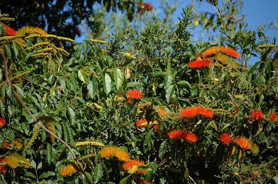 Cepillo de mono Combretum fruticosum