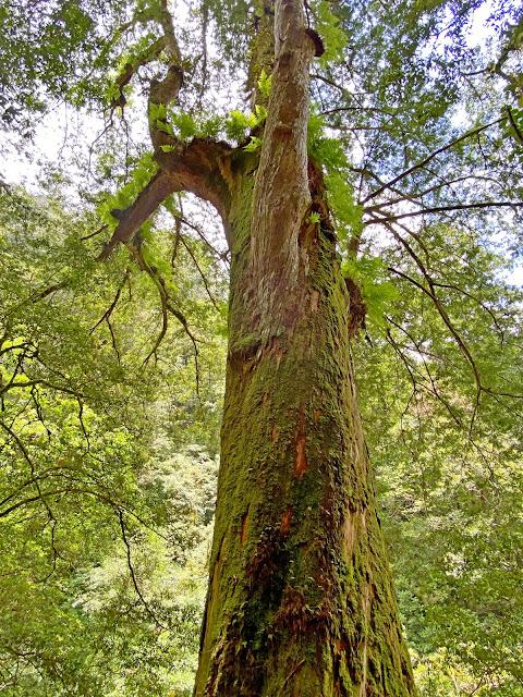 11號巨木