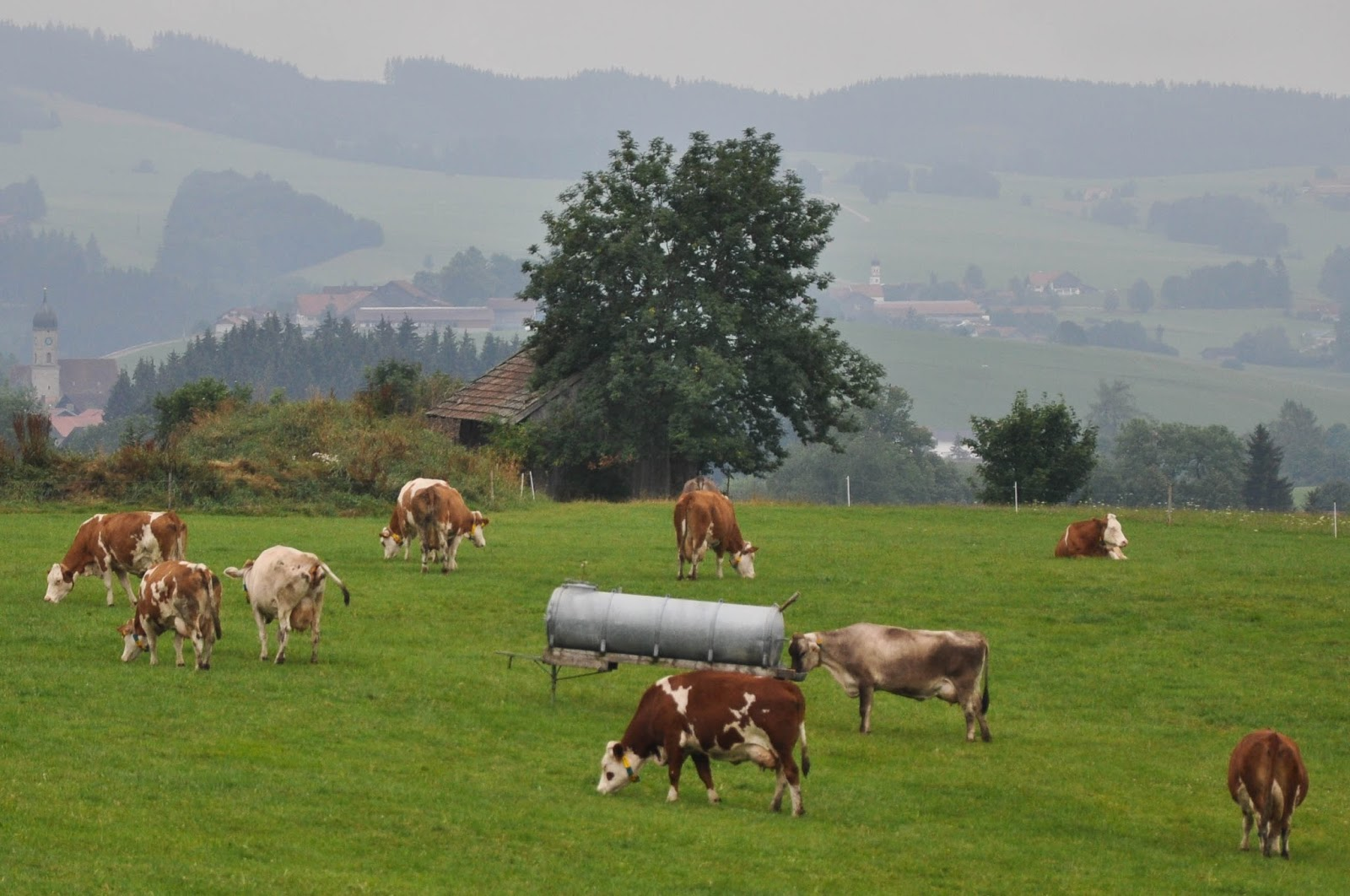 Cows on a lush meadow, Bavaria, Germany