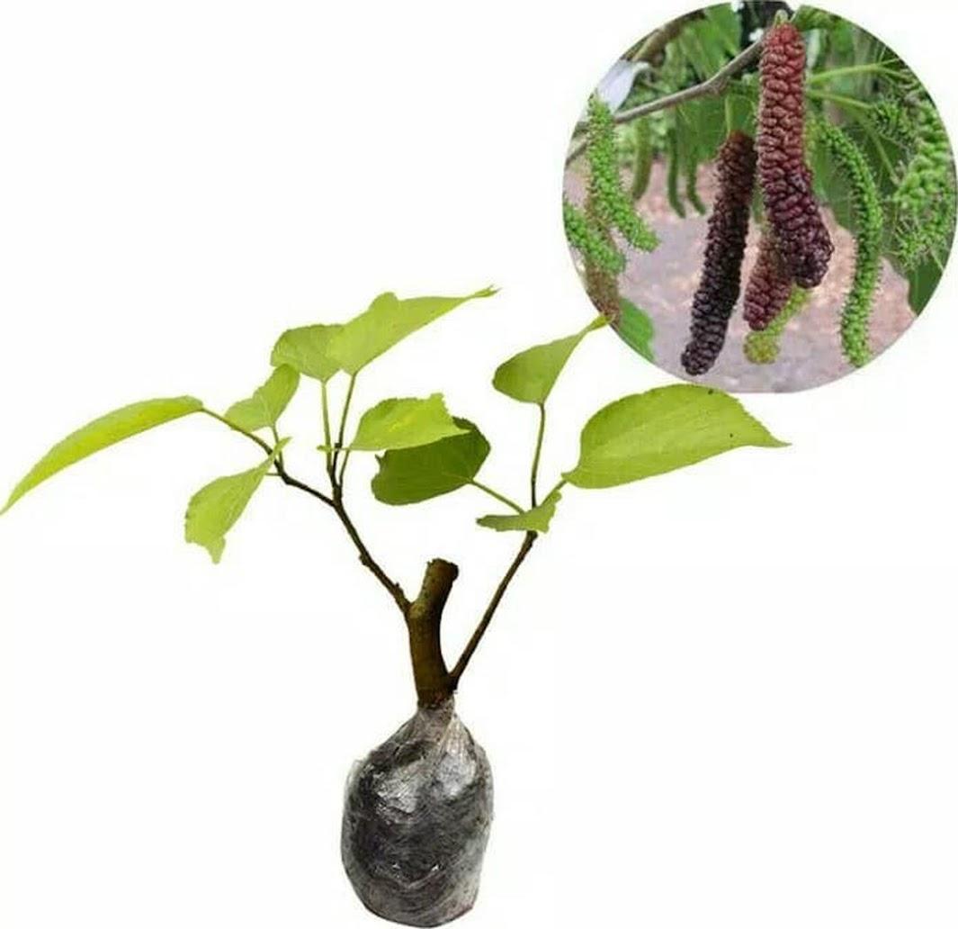 bibit buah long murbei Sumatra Barat