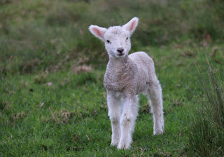 Lamb Photo by Bill Fairs on Unsplash