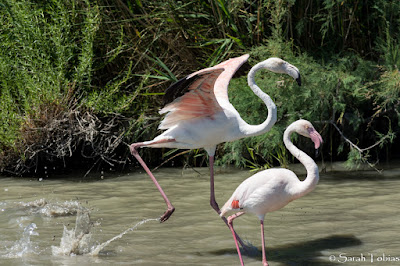 Two running Pink Flamingos in the Camargue France