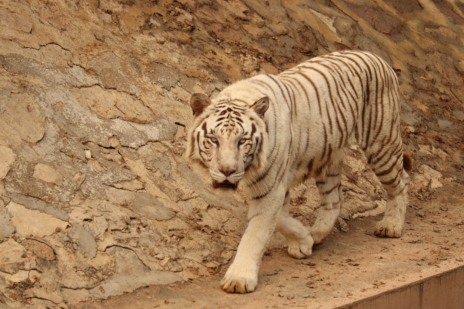 white-tiger-walking-through-images