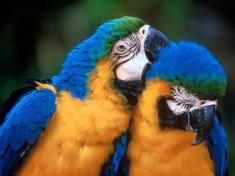 Psittaciformes