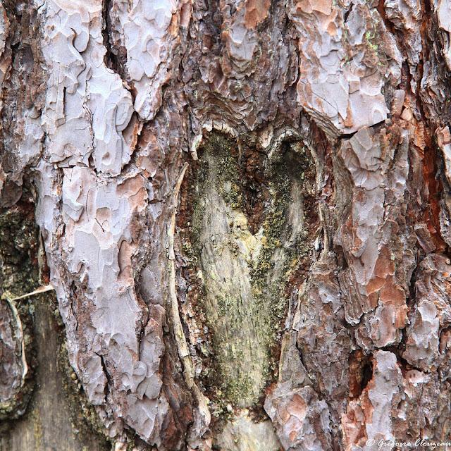 Un coeur sur le pin, Bas Cuvier, Fontainebleau