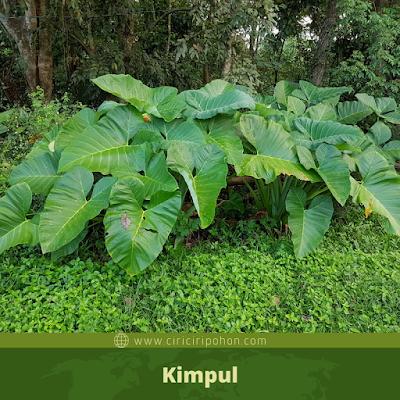 Kimpul